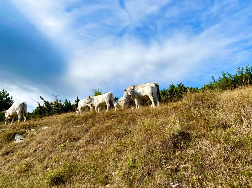 mucche al pascolo località tre caciare ascoli piceno